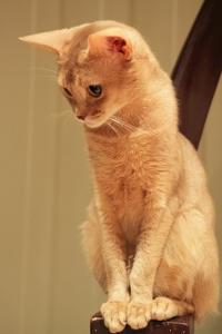 CH (N) Villkattens Lille Puma, fawn Abyssinian. Sire: IC (N) Maya's Pride Emil, ABY o. Dam: Villkattens Dancing Queen, SOM n. Breeder: Anne Marit Helmersen. Owner: Lisbeth Falling