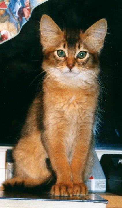 WW'05'04 EP GIC Noble Pendragon av Rubicon DSM, viltfarget somali hann. Far: Lamborghini av Rubicon, ABY n var. Mor: CH Awendela av Wild Paw, ABY o var.Bildet er fra 2001 da han var kattunge. Noble er trolig en av de mest berømte norske somalikatter.