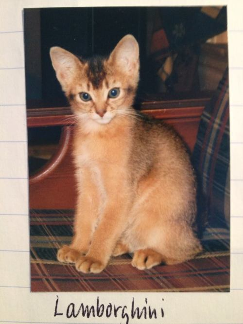 Lamborghini av Rubicon, ABY n var, as a kitten. He was born 22.08.2000. He was the father of Noble Pendragon av Rubicon. Unfortunately this is possibly one of very few picures of him. Sire: Thamos Ramfis, ABY n. Dam: Habanita av Rubicon, SOM n