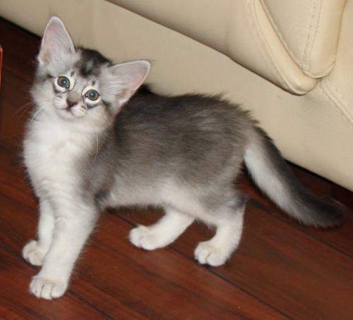 Alfonzino av Rubicon som kattunge