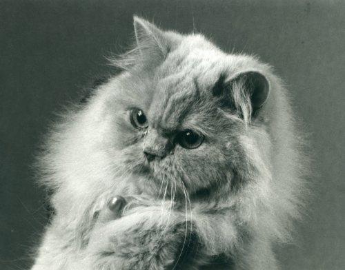 CH Nadja av Miklagaard foto fra 1980