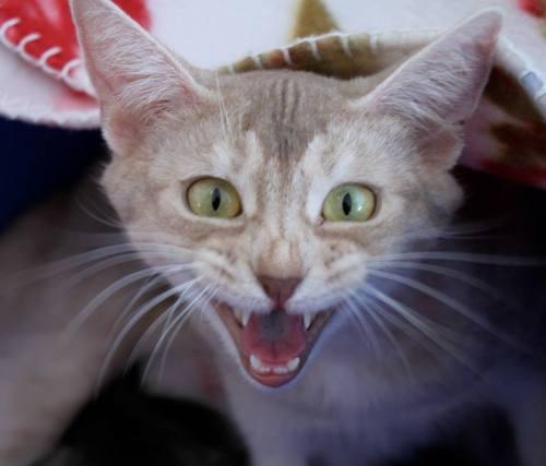Leki passer godt på kattungene sine. Hun freser ikke, men mjauer mot meg. Legg forøvrig merke til hennes grønne øyne!